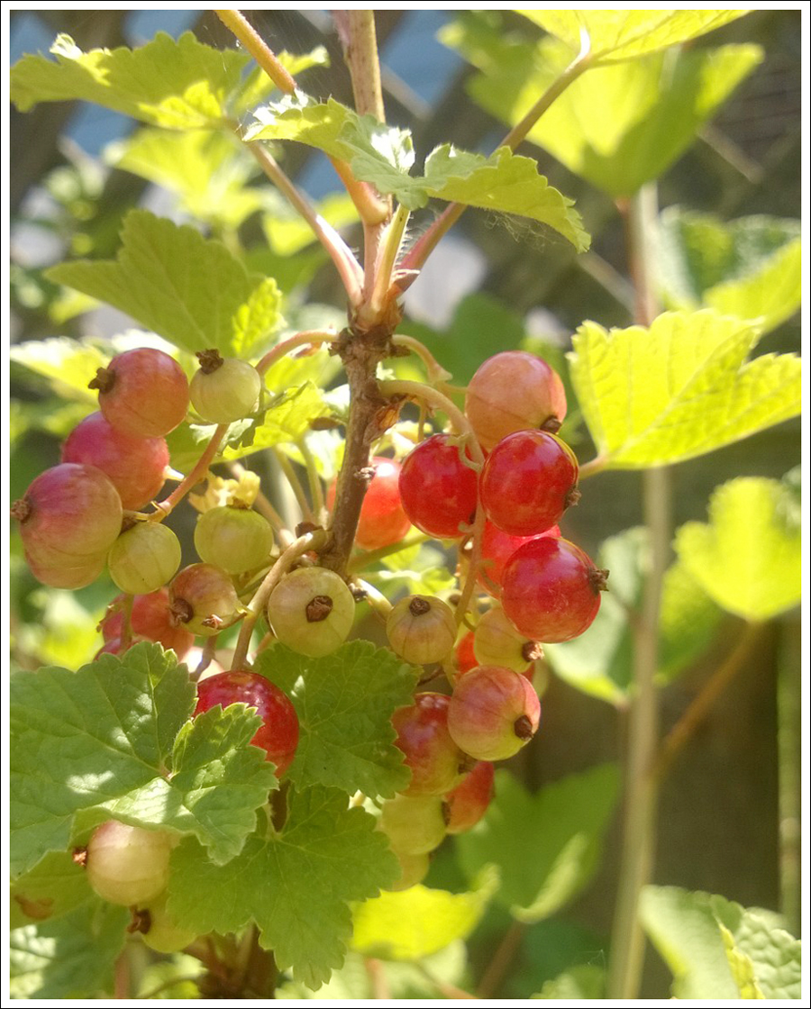 Blog Red Currants