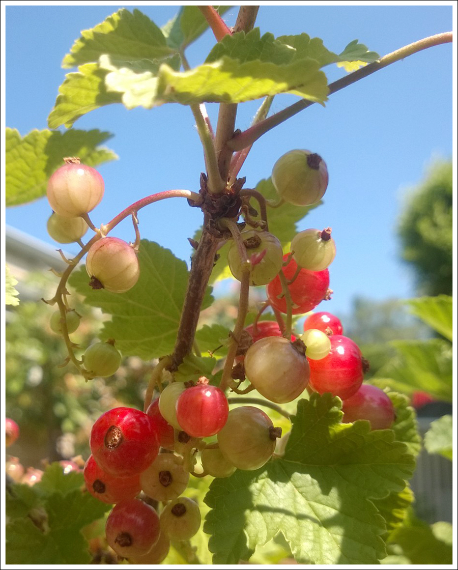 Blog Red Currants2