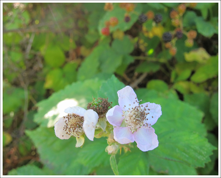 Blackberries july 2016 for blog (1)