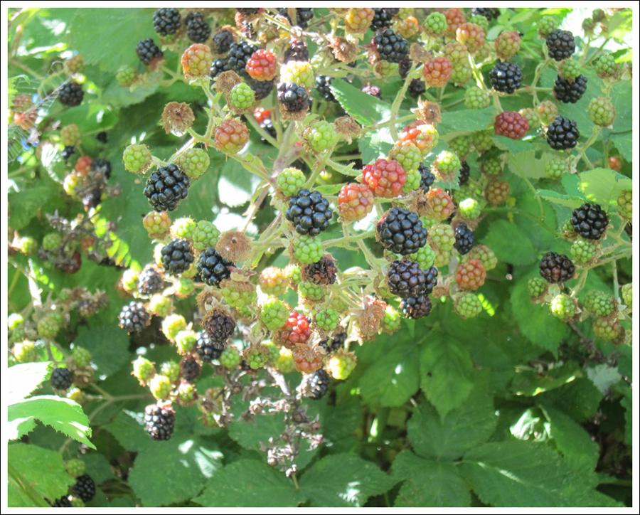 Blackberries july 2016 for blog (2)