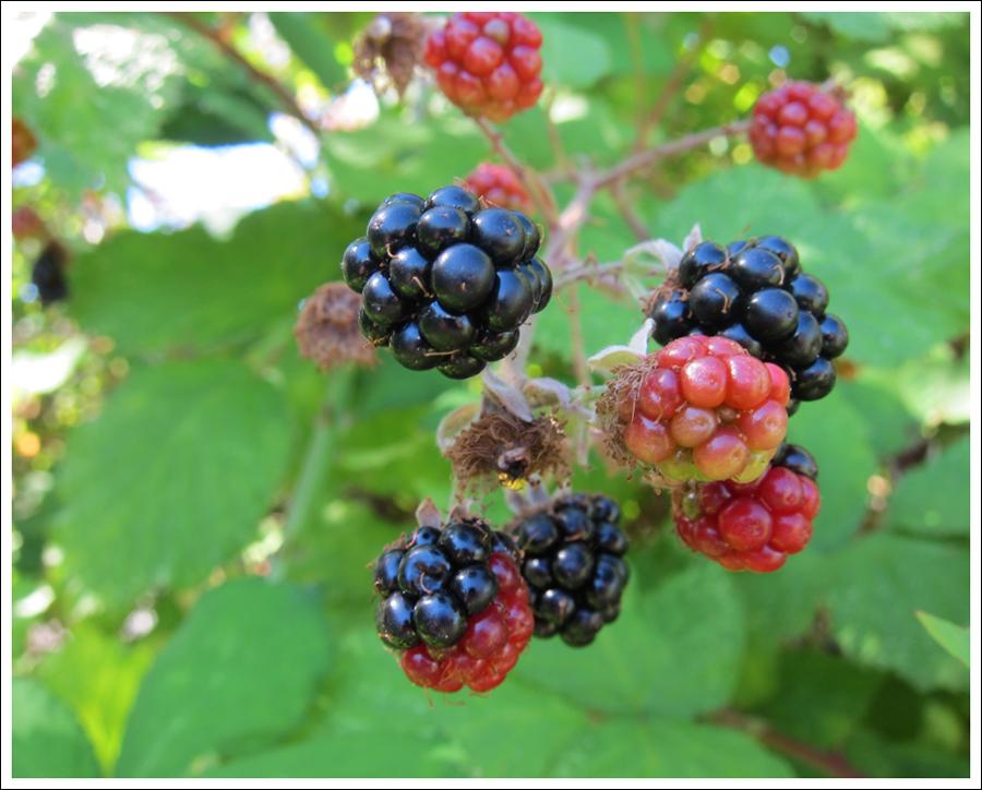 Blackberries july 2016 for blog (3)
