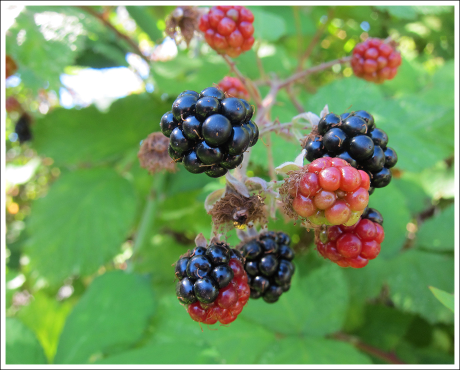 Blackberries july 2016 for blog (3)